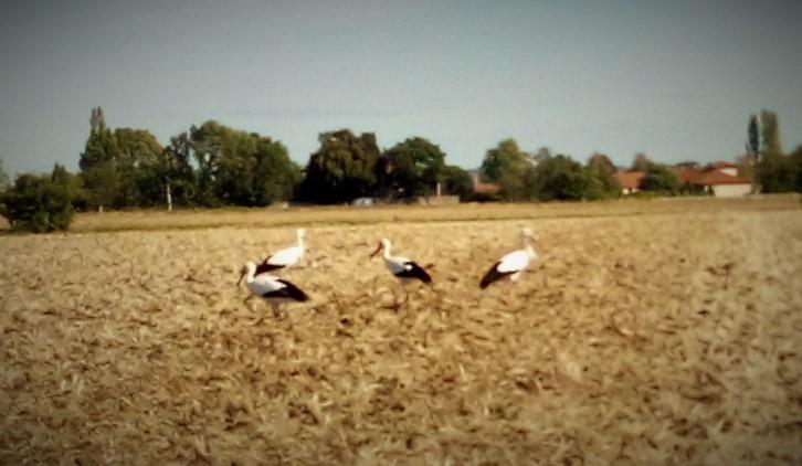 Cigognes 1 à cognat Lyonne
