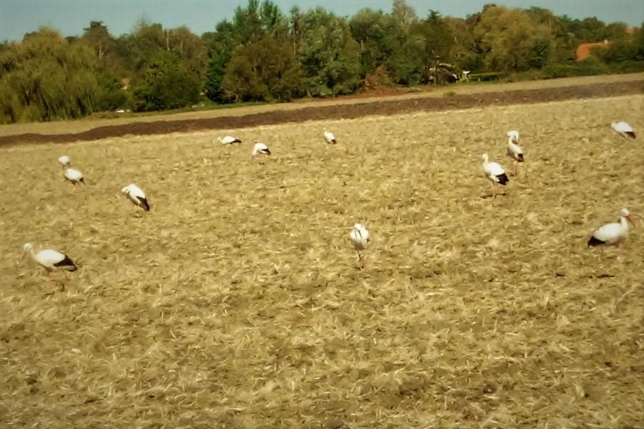 Cigognes  à cognat Lyonne